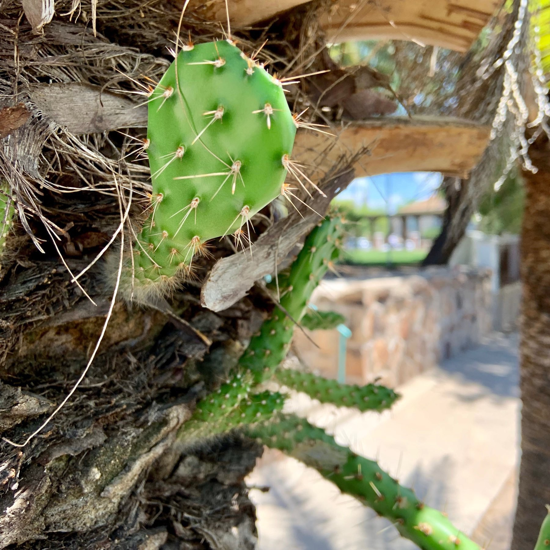 Prickly pear growing on the side of a palm tree