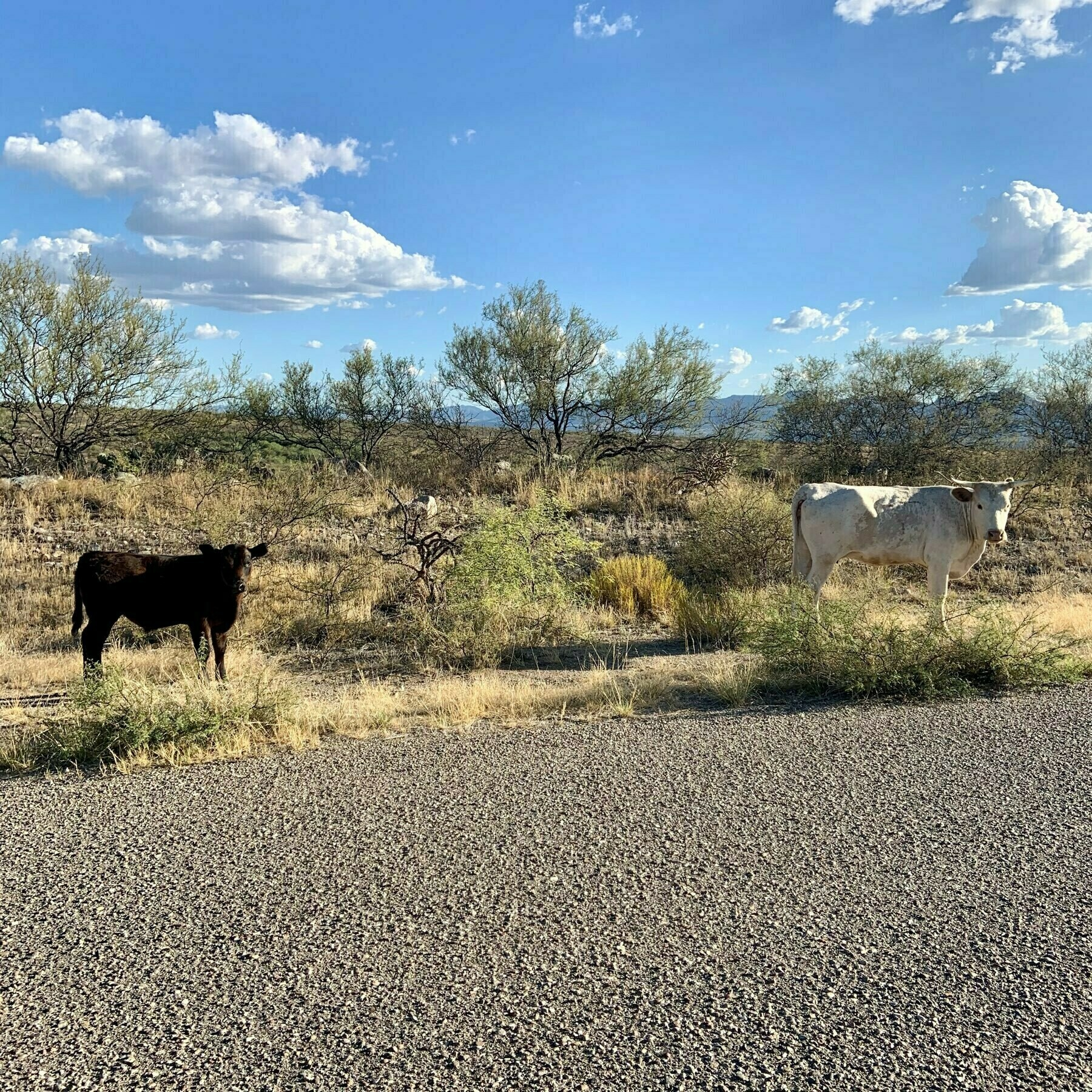 cows on the open range